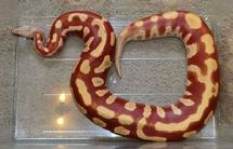 Red blood python for sale, T+ Red blood pythons for sale