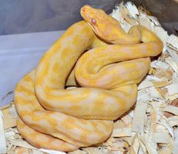 The best albino carpet pythons